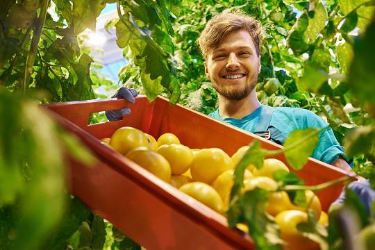 Organic farmer carrying tomatoes