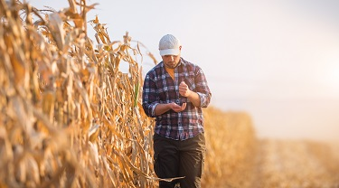 Young farmer examines corn seeds while walking in corn fields.