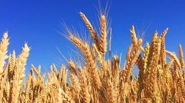 Field of wheat against a blue sky